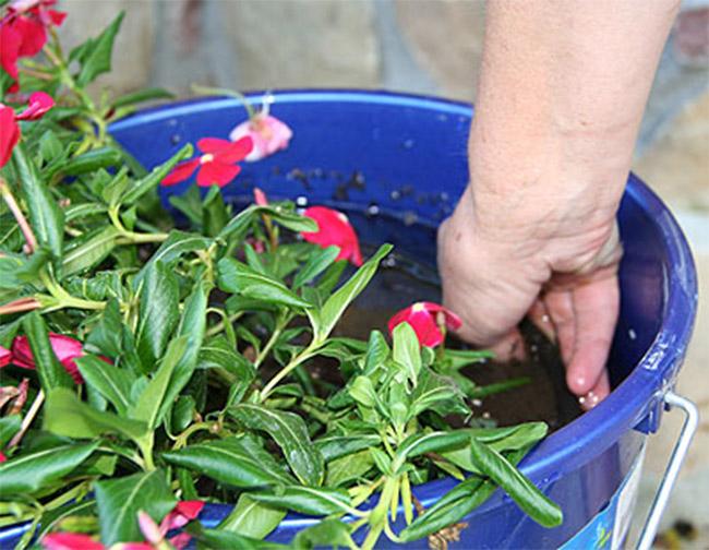 zalivanje cveca