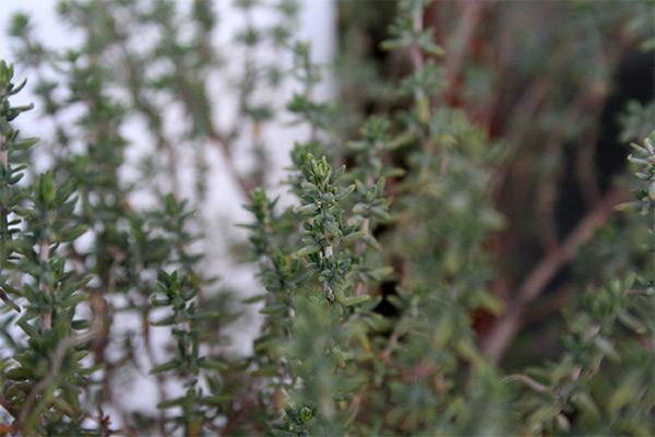zacinske biljke za balkon