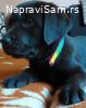 ČOKOLADNI LABRADORI šampionski štenci