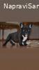 FRANCUSKI BULDOG štene