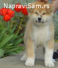 Japanska akita, kucici sa odlicnim pedigreom