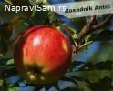 Sadnice voća za jesenju sadnju - REZERVACIJA