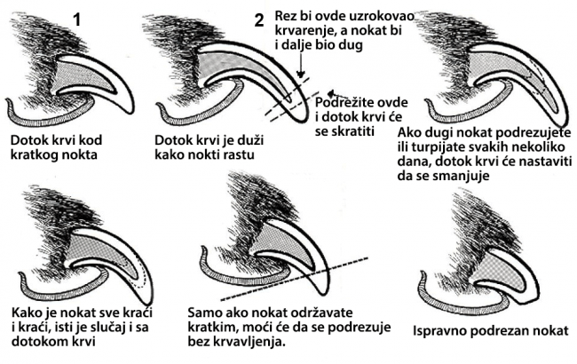 Kako rezati nokte psima